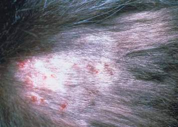 Cat Miliary Dermatitis