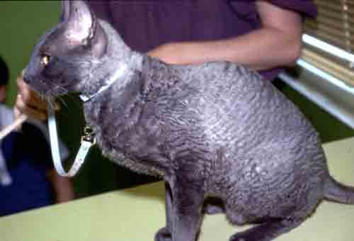 Hyperthyroid Cats Treatment Natural