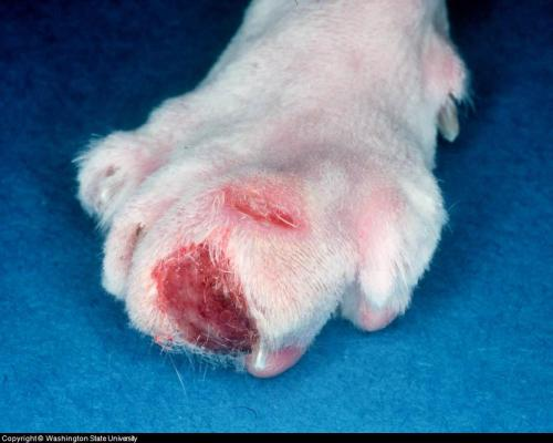 Bumps On Dog S Paws