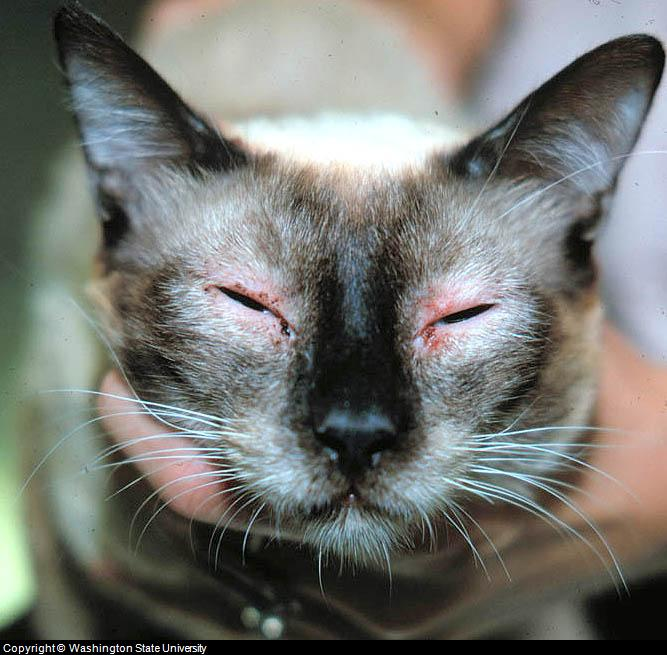 Feline Skin Lesions And Pictures Of Cat Skin Problems