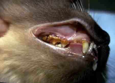 cat dental problem - example 1 - 450px x 124px