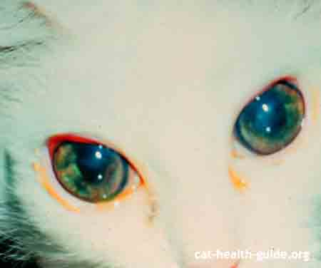 cat uveitis in FeLV positive feline