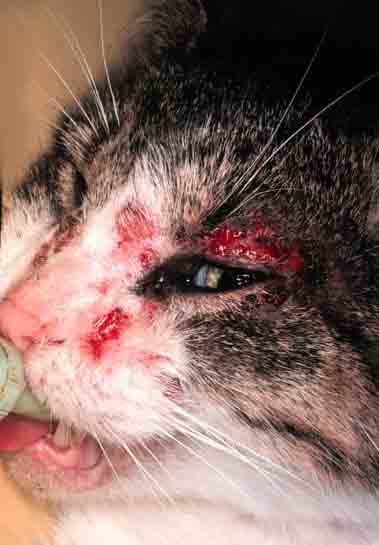 Cat Lesions Bleeding Ears