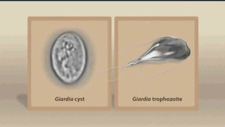 how to clear giardia in dogs