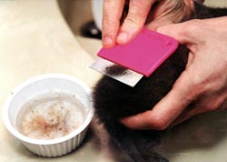 flea dermatitis cat