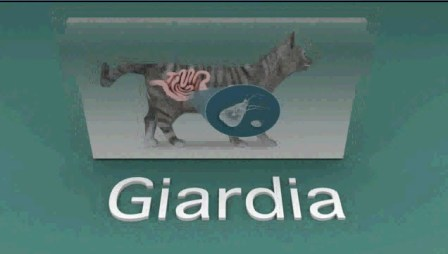 giardia in cats