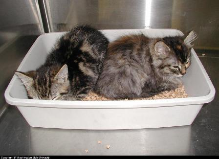 kitten litter pan