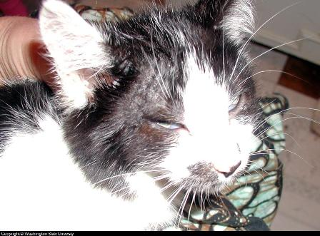 ringworm treatment for cats