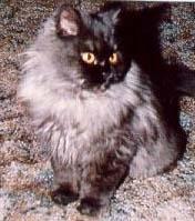 persian long hair cat