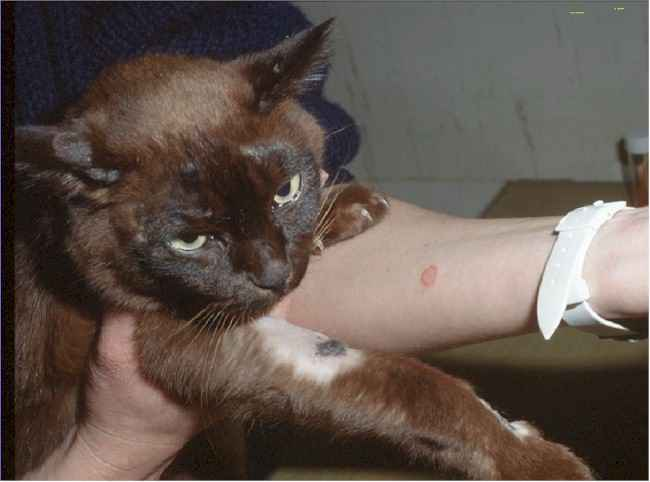 pictures of cat ringworm