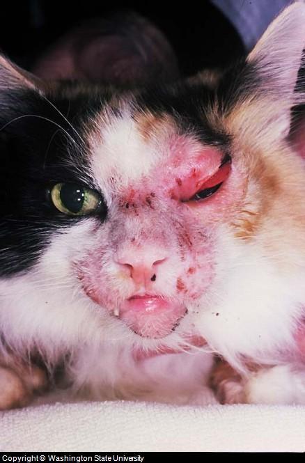 feline skin infection