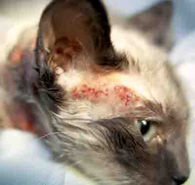 cat allergy symptoms dermatitis