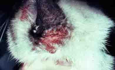 cat food allergy symptoms