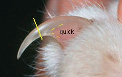 where the quick is located on a cats toenail