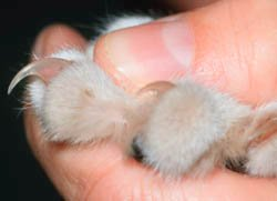 applying pressure to the cats paw