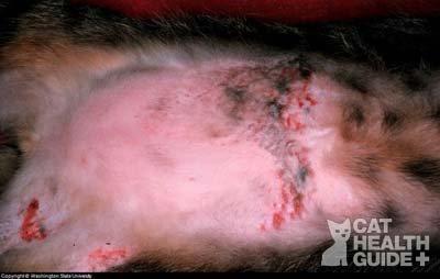 feline hair loss allergy