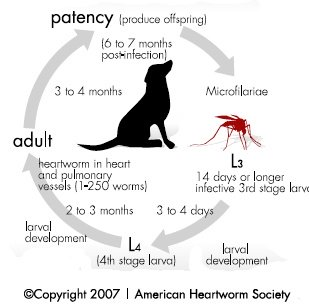 heartworm feline life cycle