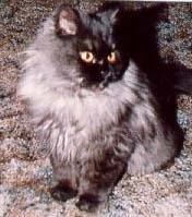 persian long hair cat