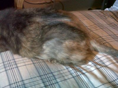 Cat Losing Hair On Legs In Patches Anexa Beauty