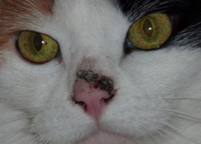 Growth on cat nose is spreading into nostrils