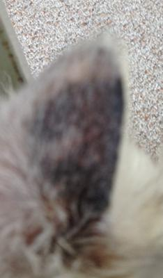 Right Time To Stop Cat Ringworm Treatment
