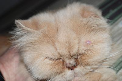 Nasal Discharge Runny Nose in Cats - Cat World