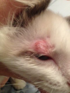 Poor little ChaCha with possible case of Cat Ringworm