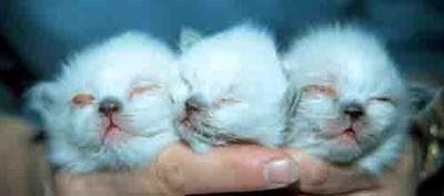 <b>Picture of Kittens with Upper Respiratory Infection, a possible cause of cat sneezing mucus. Queen Was Ill During Preganancy.</b><br><small>Source: Washington State Unviersity, Dr. Barbara Stein</small>