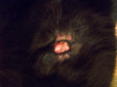 Picture Cat Skin Lump and inflamed skin on the stomach