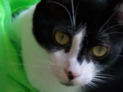 Cat with Non-regenerative Anemia