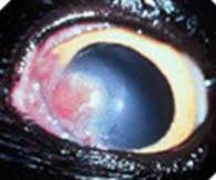 A Wound Like a Cat Eye Ulcer Such as This One Can Cause an Eye to Stay Closed<br><small>Source: Veterinary Vision</a></small>