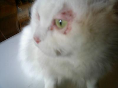 Skin Problem Surrounding Cat Eye