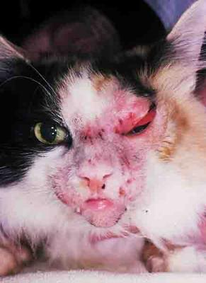 Example of a Superficial Bacterial Cat Skin Infection on Face<br><small>Source: Washington State University</small>